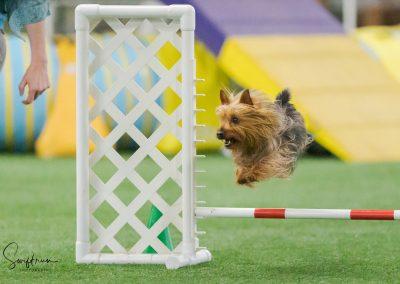 Wiley Silky Terrier & Regina Delahunt
